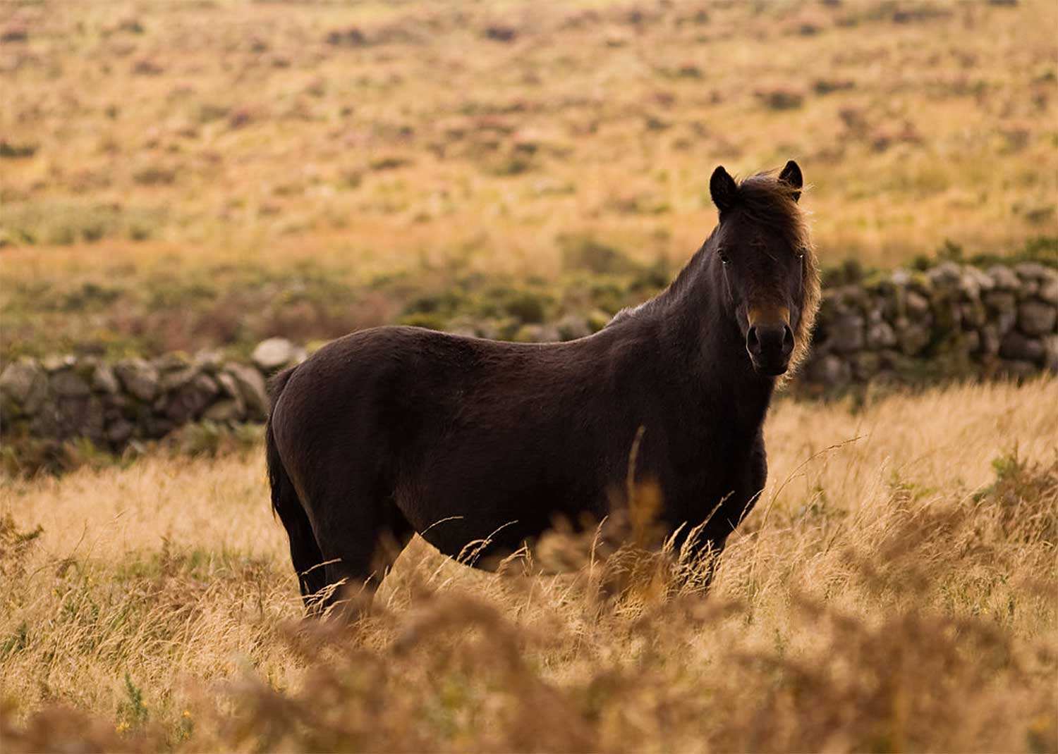 The famous Dartmoor Ponies