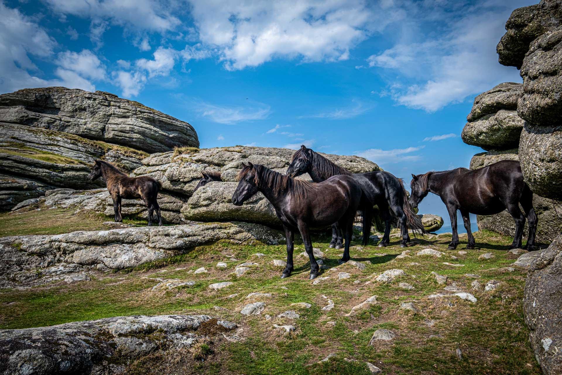 The famous Dartmoor Ponies