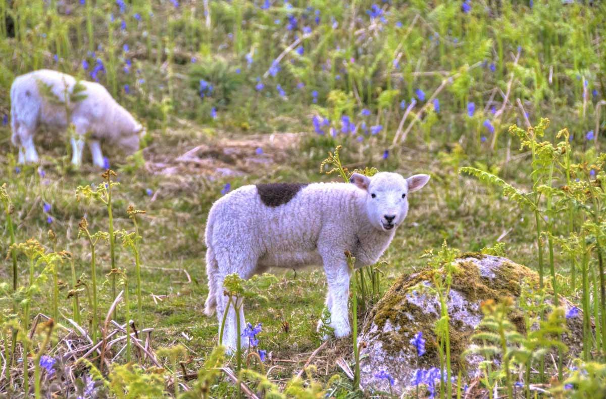 lambs-bluebells