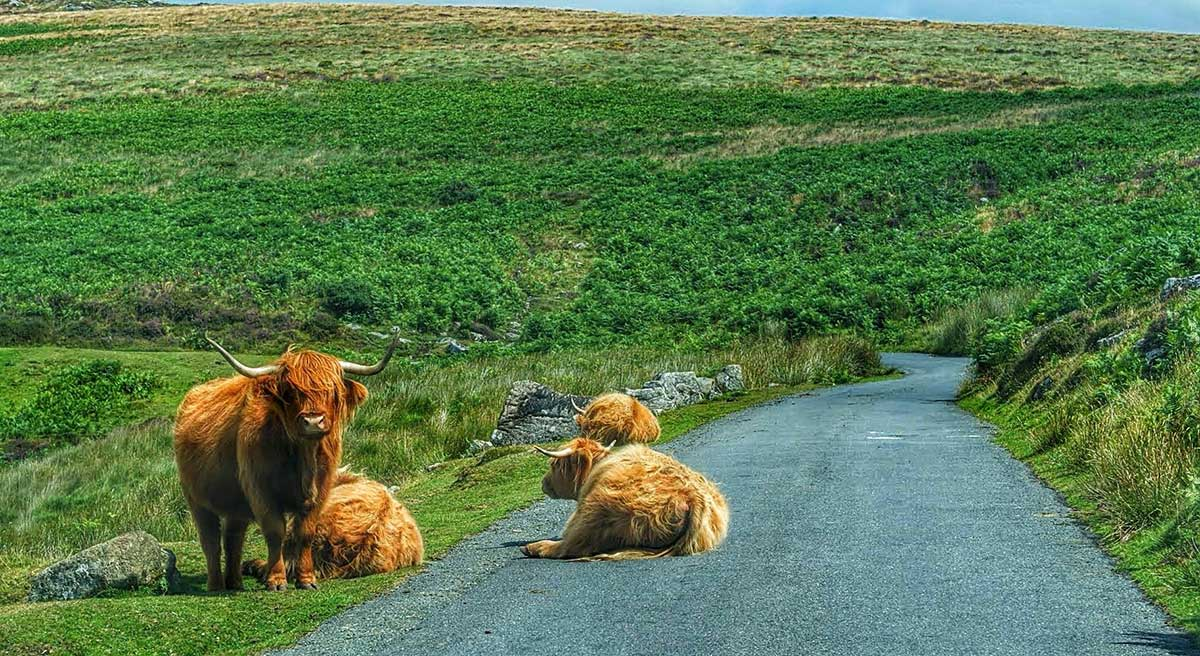 cows-on-road