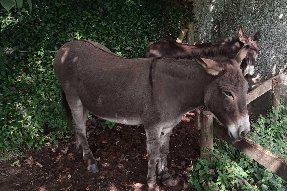 Clovelly-donkeys-2020-5