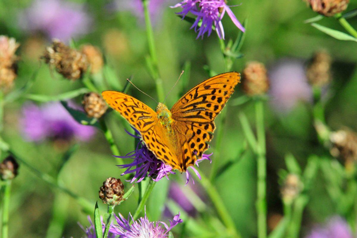 fritillary-(Argynnis-paphia)-butterfly.jpg_tmp