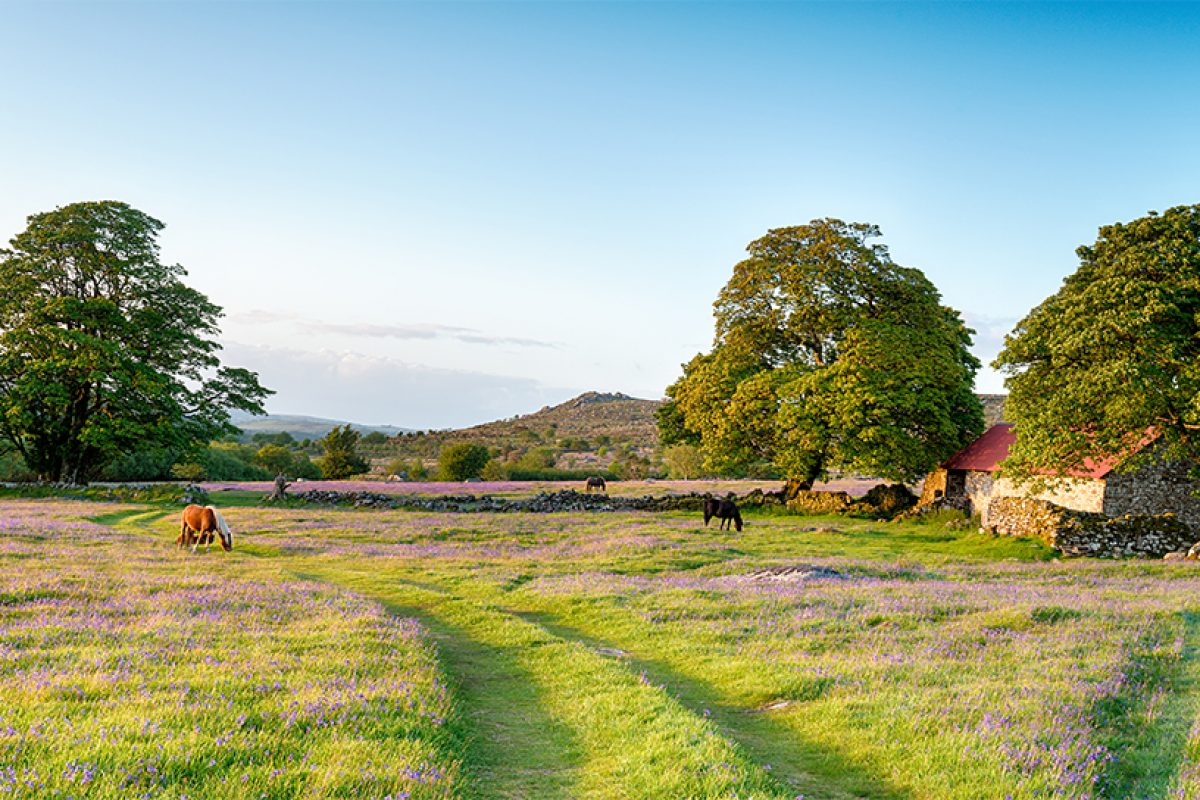 Dartmoor ponies grazing in a bluebell meadow by an old red roofed barn